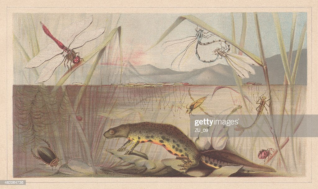 Aquatic insects, lithograph, published in 1868 : stock illustration