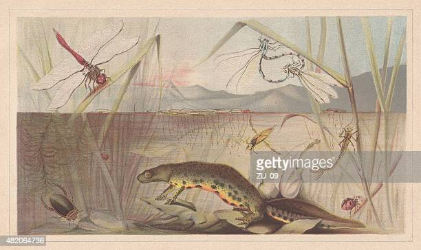 aquatic insects, lithograph, published in 1868 - odonata stock illustrations, clip art, cartoons, & icons