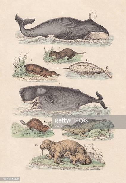 illustrazioni stock, clip art, cartoni animati e icone di tendenza di questi simpatici mammiferi acquatici, mano colorata litografia, 1880 - mammifero