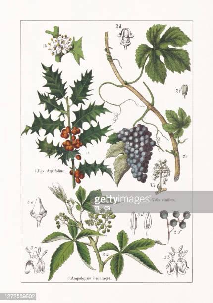ilustrações de stock, clip art, desenhos animados e ícones de aquifoliaceae, vitaceae, chromolithograph, published in 1895 - litografia