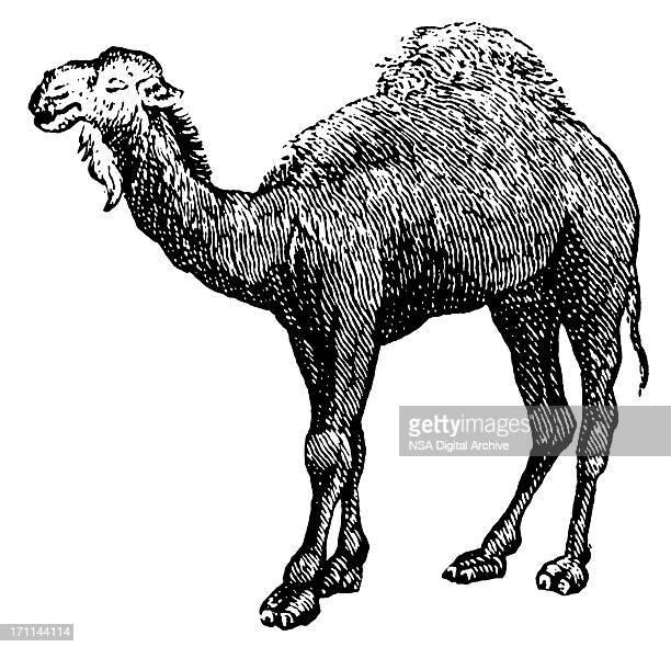 illustrations, cliparts, dessins animés et icônes de camel/arabie antique d'illustrations - arab feet