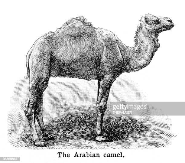 Camello arábigo grabado 1897