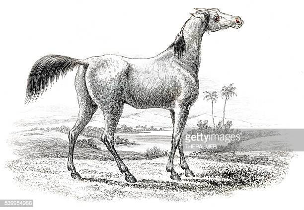 arabian horse 1841 - mare stock illustrations, clip art, cartoons, & icons