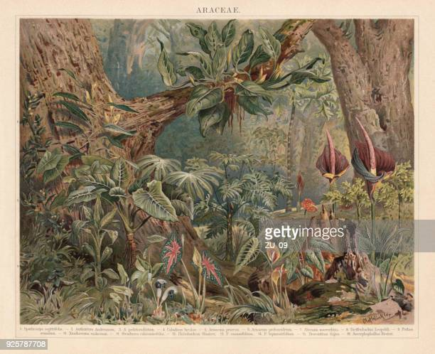 araceae, monocotyledonous flowering plants in the tropics, lithograph, published 1897 - tropical bush stock illustrations