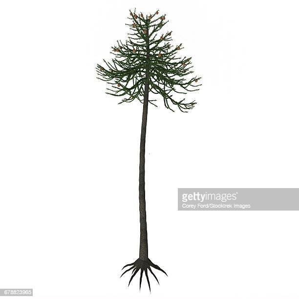 Araucaria conifer tree isolated on white background.