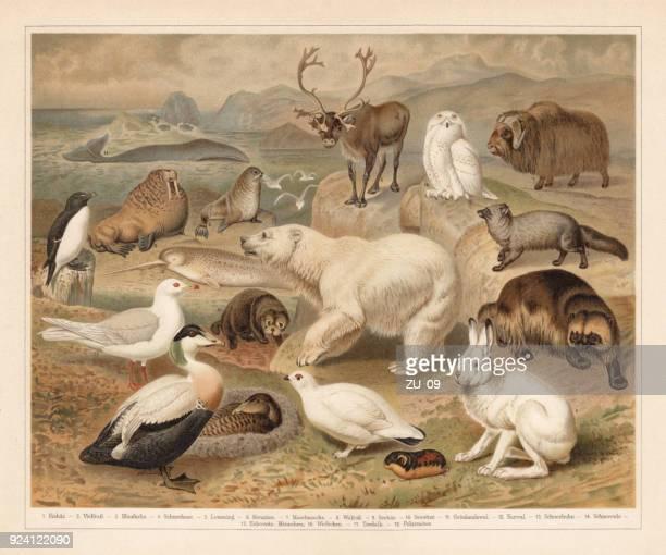 ilustrações, clipart, desenhos animados e ícones de fauna do ártico, litografia, publicado em 1897 - animais em extinção