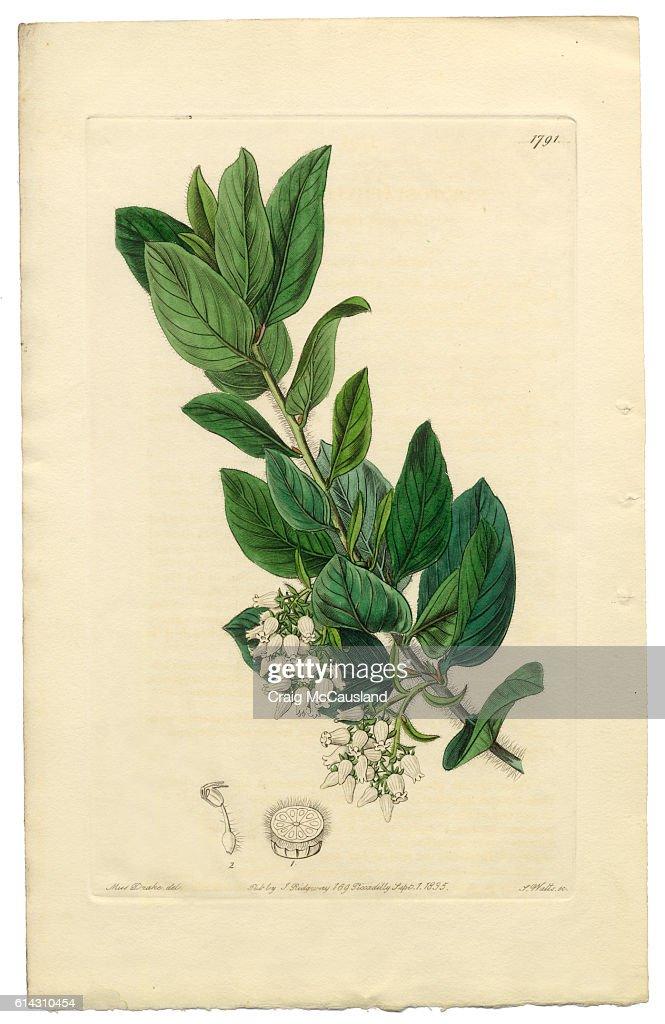 Arctostaphylos tomentosa Victorian Botanical Illustration, Downy Bearberry, Bearberry, 1835 : Stock Illustration
