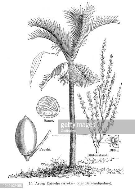 areca palm with betel nut 1897 - graphic print stock illustrations