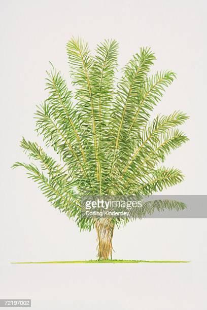 Arenga pinnata, Sugar Palm tree, side view.