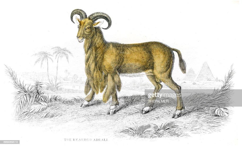 Argali sheep lithograph 1884 : Stock Illustration
