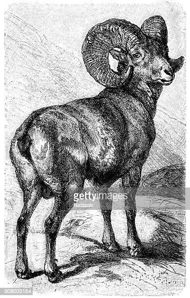 illustrations, cliparts, dessins animés et icônes de argali moutons, les moutons de montagne (ovis ammon - ram animal