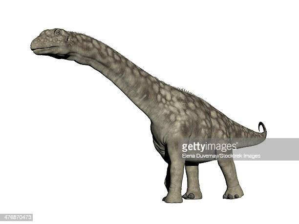 Argentinosaurus dinosaur, white background.