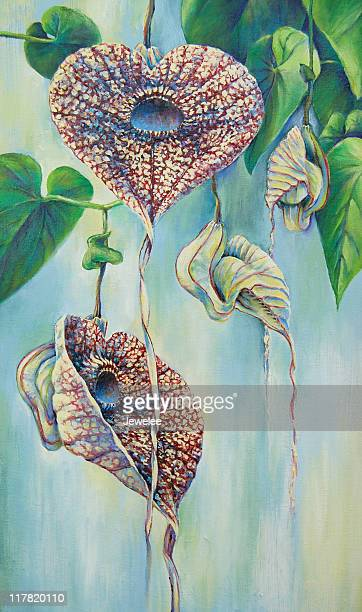 aristolochia - vine stock illustrations