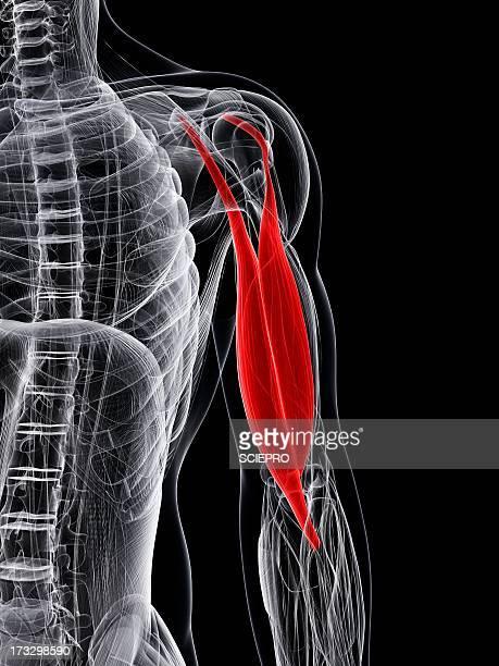 ilustraciones, imágenes clip art, dibujos animados e iconos de stock de arm muscle, artwork - músculo humano