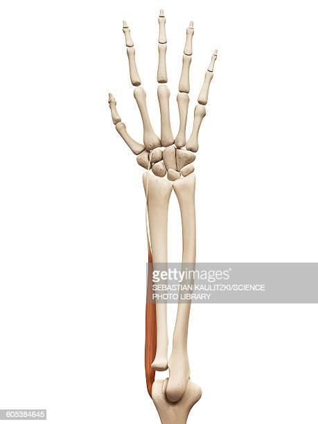 arm muscle, illustration - forearm stock illustrations, clip art, cartoons, & icons