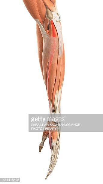 Arm muscles