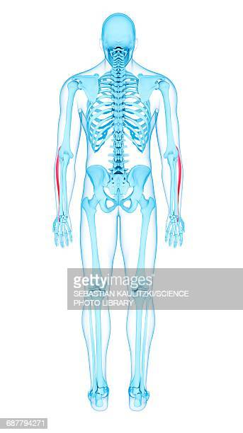 extensor carpi radialis longus stock illustrations and cartoons