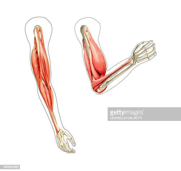 arm musculature, artwork - anatomy stock illustrations