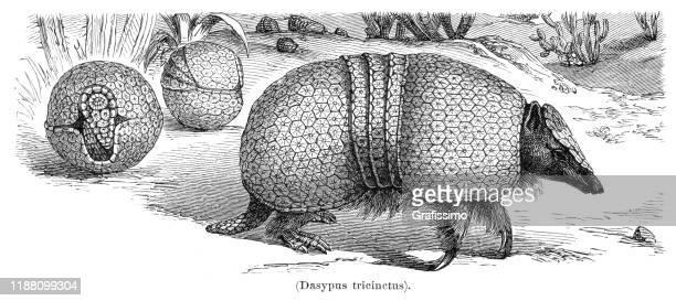armadillo animal illustration 1897 - armadillo stock illustrations