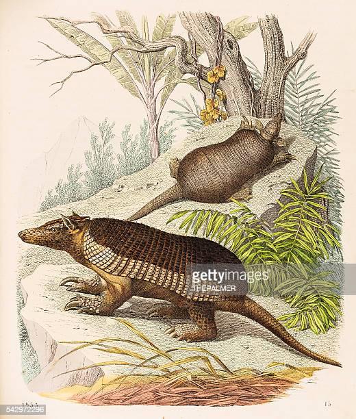 armadillos illustration 1853 - armadillo stock illustrations