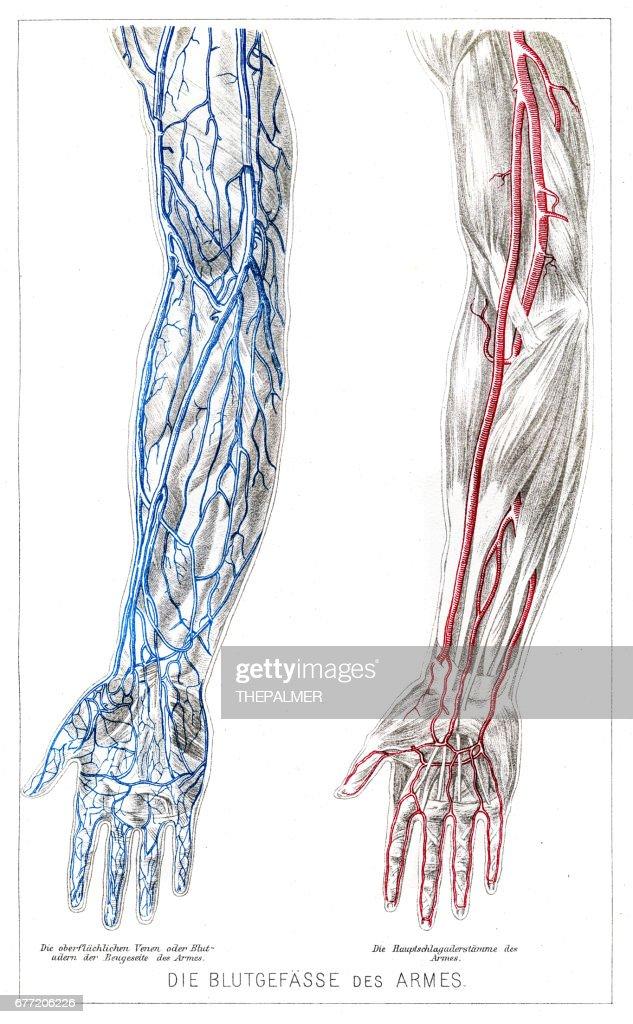 Anatomía de los vasos sanguíneos de los brazos grabado de 1857 : Ilustración de stock