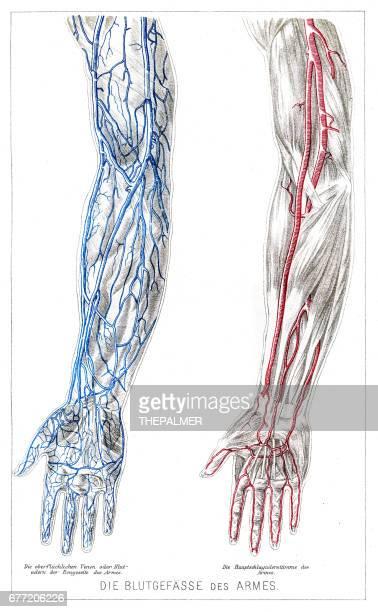 ilustraciones, imágenes clip art, dibujos animados e iconos de stock de anatomía de los vasos sanguíneos de los brazos grabado de 1857 - miembro humano