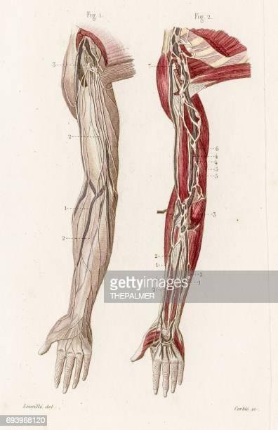 Arms vascular system anatomy engraving 1886