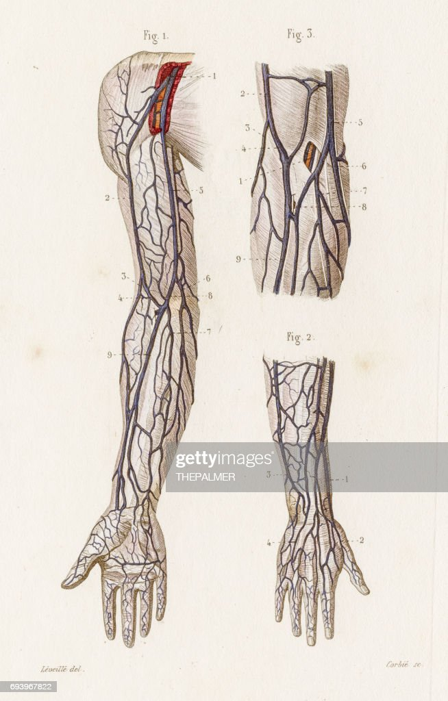 Arms Veins Anatomy Engraving 1886 Stock Illustration | Getty Images