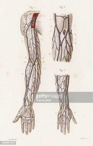 腕の静脈の解剖学 1886 を彫刻 - 静脈点のイラスト素材/クリップアート素材/マンガ素材/アイコン素材