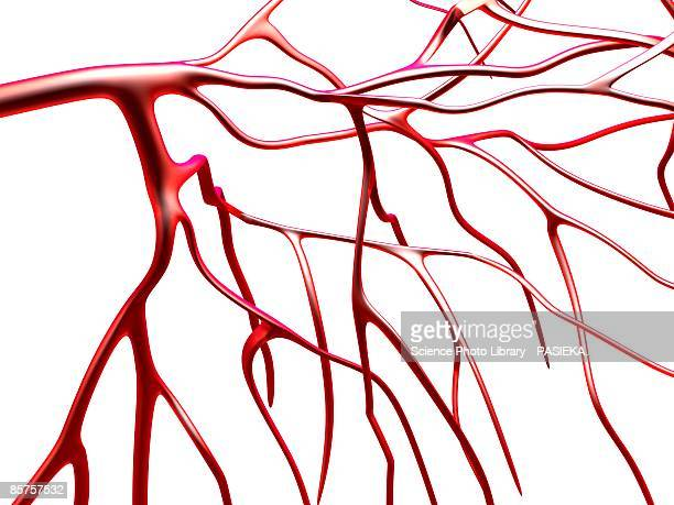 arteries against white background - blood vessel stock illustrations, clip art, cartoons, & icons