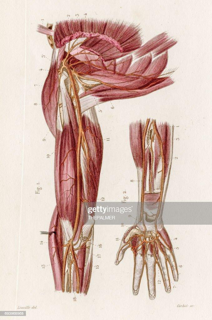 Arteries Of Axilla Anatomy Engraving 1886 Stock Illustration | Getty ...