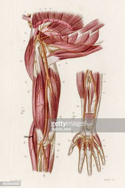 arteries of axilla anatomy engraving 1886 - tissue anatomy stock illustrations, clip art, cartoons, & icons