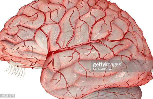 ilustrações, clipart, desenhos animados e ícones de arteries of the brain - lobo temporal