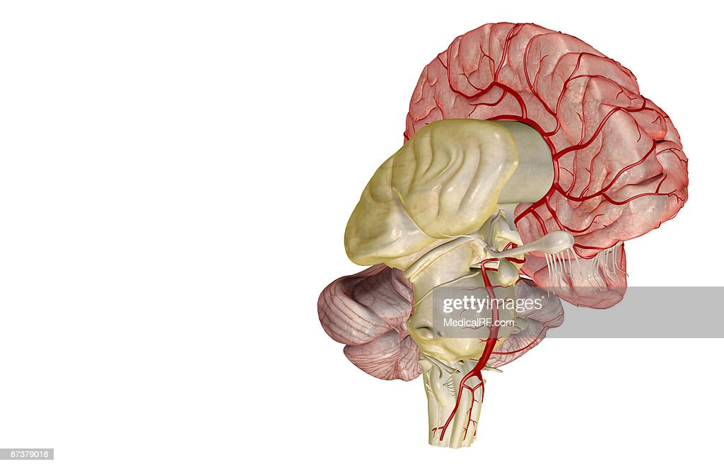 Arteries of the brain : stock illustration