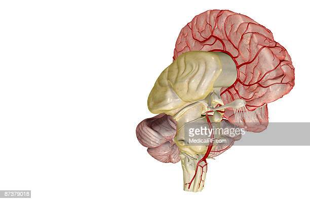 arteries of the brain - cerebral nuclei stock illustrations, clip art, cartoons, & icons