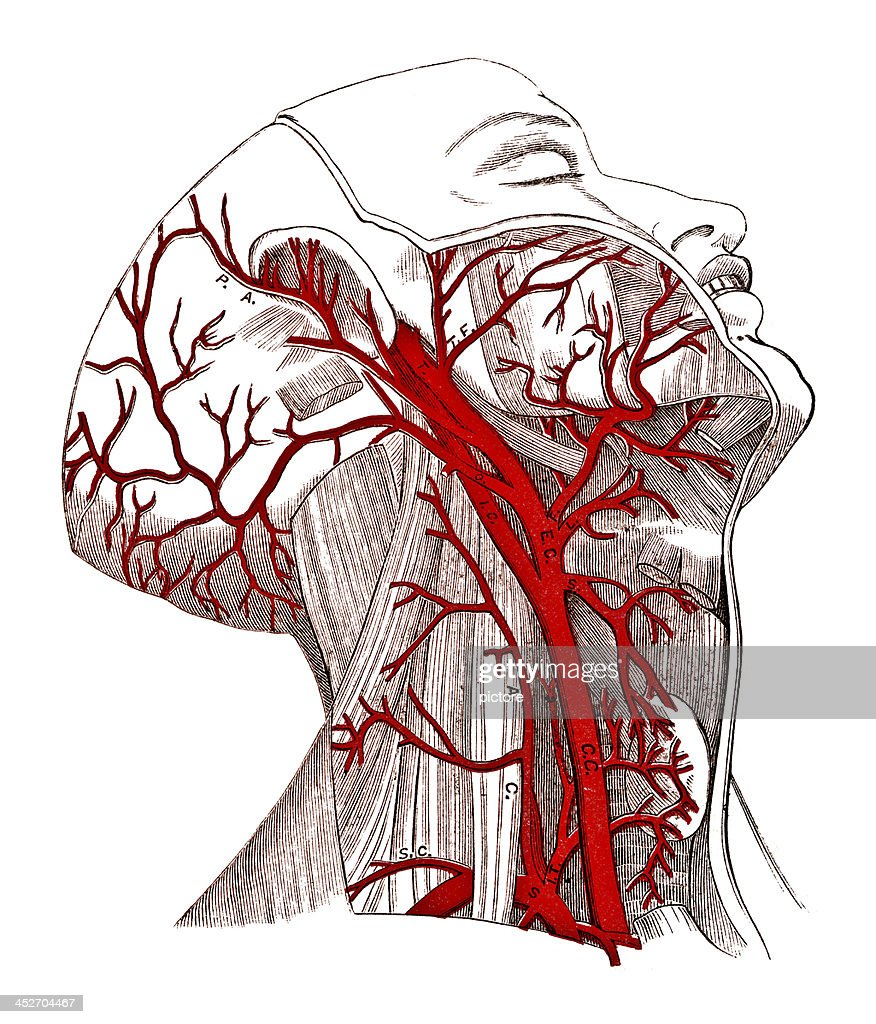 Arteries Of The Head Stock Illustration Getty Images