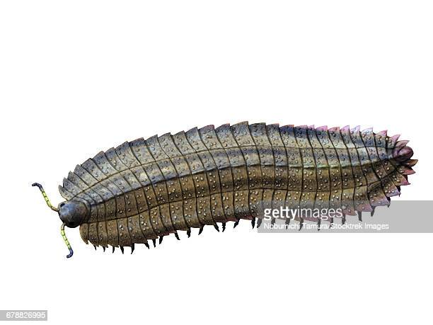 Arthropleura armata is an extinct millipede from the Late Carboniferous of Europe.