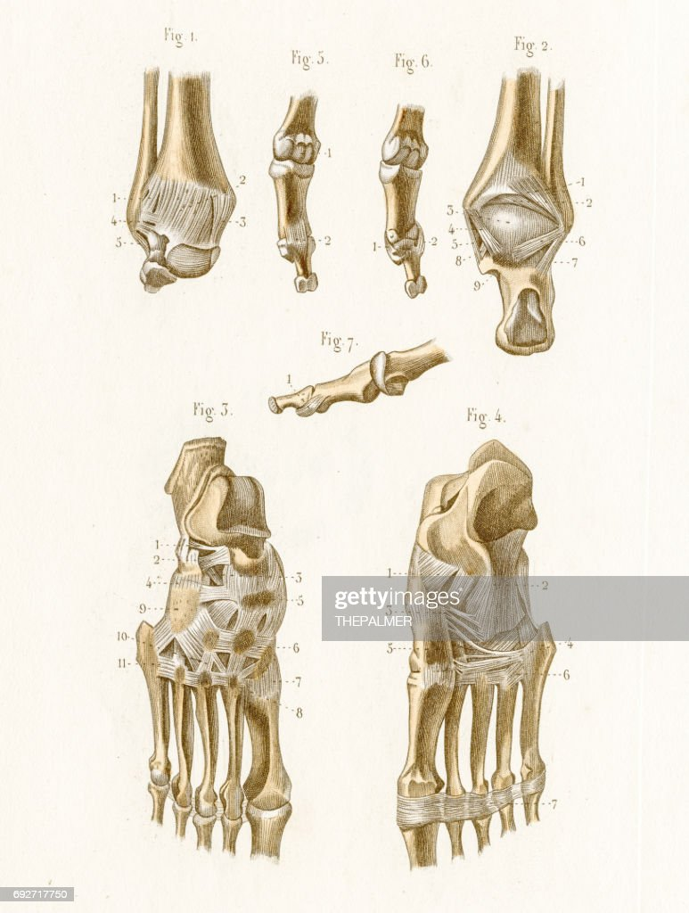 Articulation Anatomy Engraving 1886 Stock Illustration | Getty Images