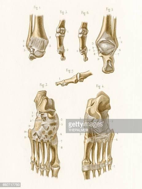 articulation anatomy engraving 1886 - cardiopulmonary system stock illustrations, clip art, cartoons, & icons