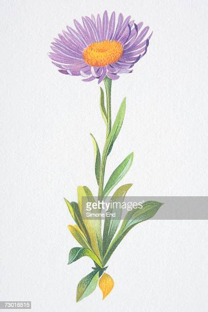 artwork of flowering perennial in summer, bearing upright flowering stem with a daisy or composite flowerhead. the ray florets are violet-blue and the disc florets are gold. also showing spoon-shaped or oblanceolate leaves or foliage. - perennial stock illustrations, clip art, cartoons, & icons