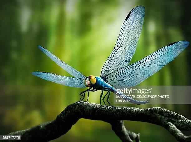 ilustrações, clipart, desenhos animados e ícones de artwork of giant dragonfly meganeura - era prehistórica
