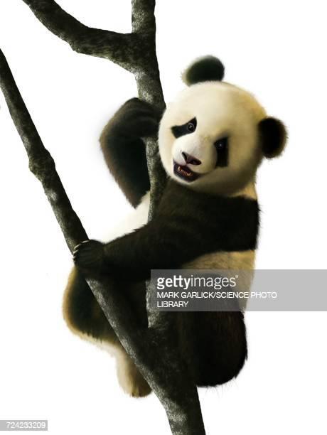 ilustrações, clipart, desenhos animados e ícones de artwork of juvenile giant panda - animais em extinção
