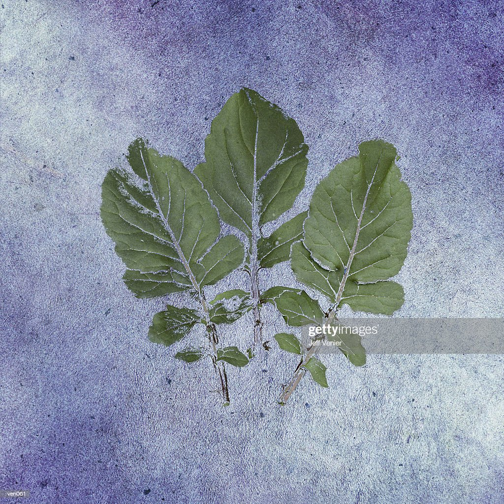 Arugula : Stock Illustration