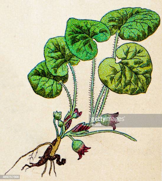 Asarum europaeum (asarabacca 、野生ジンジャー)、植物アンティークイラストレーション