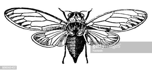 ash cicada (cicada orni) - ash stock illustrations, clip art, cartoons, & icons