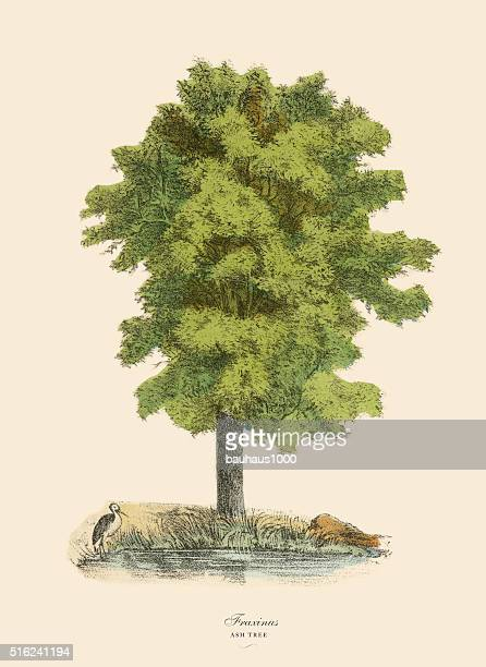 ash tree or fraxinus, victorian botanical illustration - ash stock illustrations, clip art, cartoons, & icons