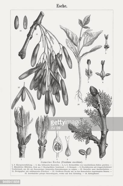 ash (fraxinus excelsior), wood engravings, published in 1897 - ash stock illustrations, clip art, cartoons, & icons