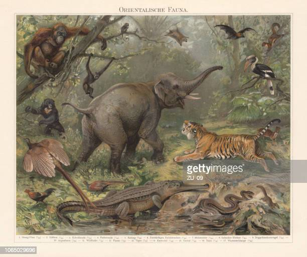 asian wildlife, chromolithograph, published in 1897 - lithograph stock illustrations