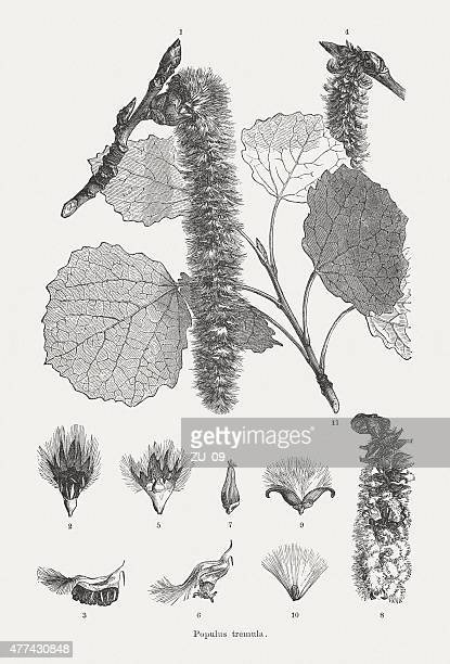 aspen (populus tremula), wood engravings, published in 1877 - aspen tree stock illustrations, clip art, cartoons, & icons