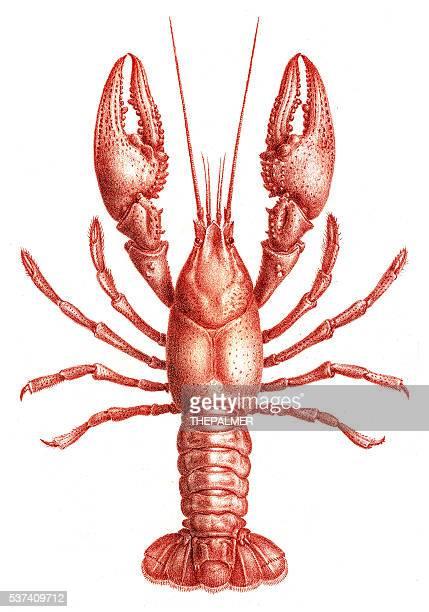 ilustraciones, imágenes clip art, dibujos animados e iconos de stock de langostas astacidae grabado 1870 - monoimpresión